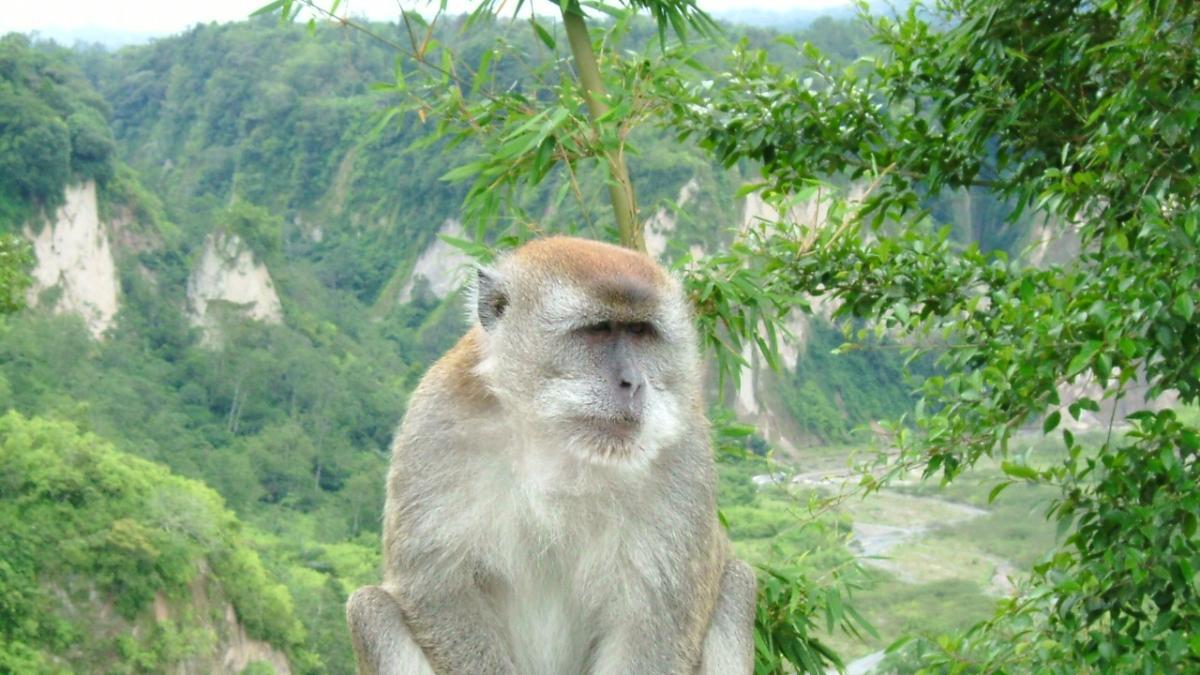 Así es el mono cangrejero que los científicos han usado para crear los primeros embriones con mezcla de mono y humano en China